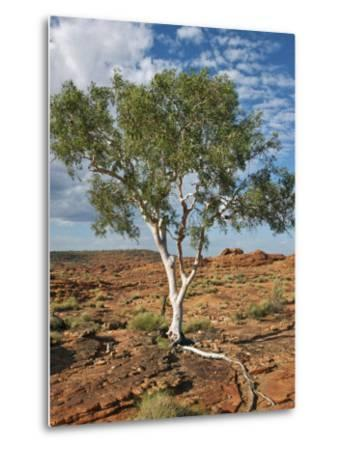 A Ghost Gum with an Exposed Root Thrives in Rocky Terrain at Kings Canyon, Australia-Nigel Pavitt-Metal Print