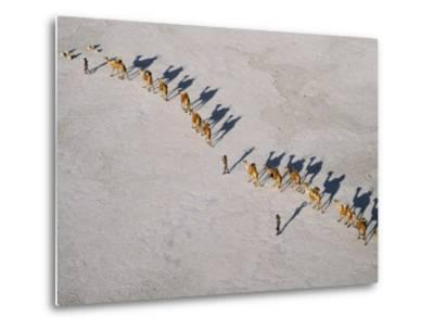Afar Camel Caravan Crosses the Salt Flats of Lake Assal, Djibouti, as Shadows Lengthen in the Late -Nigel Pavitt-Metal Print