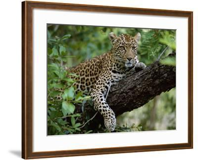 Female Leopard Rests in the Shade, Lying on the Branch of a Tree-John Warburton-lee-Framed Photographic Print