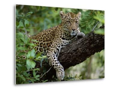 Female Leopard Rests in the Shade, Lying on the Branch of a Tree-John Warburton-lee-Metal Print