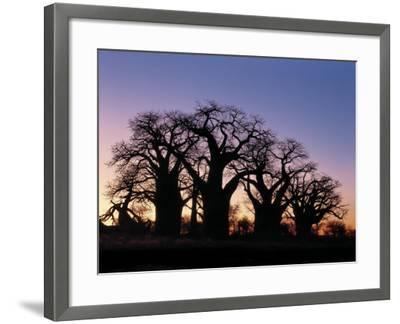 Dawn Sky Silhouettes from Grove of Ancient Baobab Trees, known as Baines' Baobabs, Botswana-Nigel Pavitt-Framed Photographic Print