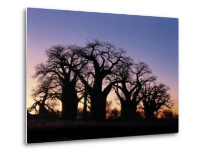 Dawn Sky Silhouettes from Grove of Ancient Baobab Trees, known as Baines' Baobabs, Botswana-Nigel Pavitt-Metal Print