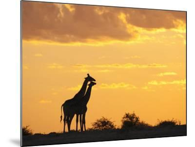 Giraffes, Silhouetted at Sunset, Etosha National Park, Namibia, Africa-Ann & Steve Toon-Mounted Premium Photographic Print