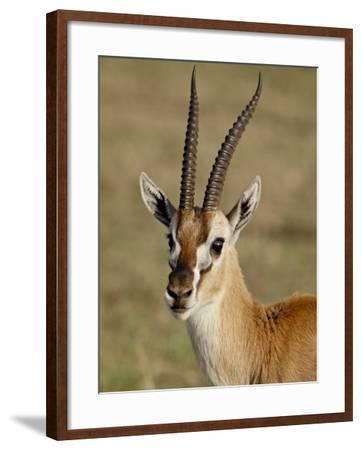 Male Thomsons Gazelle, Masai Mara National Reserve-James Hager-Framed Photographic Print
