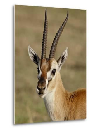 Male Thomsons Gazelle, Masai Mara National Reserve-James Hager-Metal Print