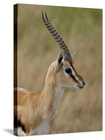 Male Thomsons Gazelle, Masai Mara National Reserve-James Hager-Stretched Canvas Print