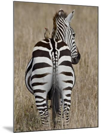 Red-Billed Oxpecker on a Grants Zebra-James Hager-Mounted Photographic Print