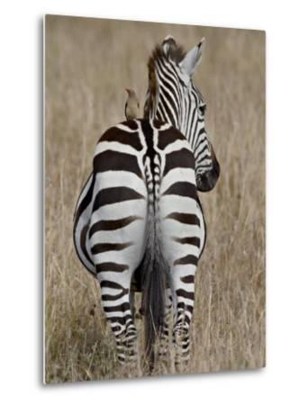 Red-Billed Oxpecker on a Grants Zebra-James Hager-Metal Print