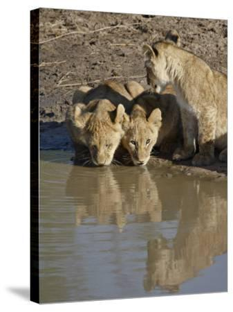 Three Lion Cubs Drinking, Masai Mara National Reserve, Kenya, East Africa, Africa-James Hager-Stretched Canvas Print