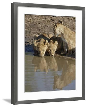 Three Lion Cubs Drinking, Masai Mara National Reserve, Kenya, East Africa, Africa-James Hager-Framed Photographic Print