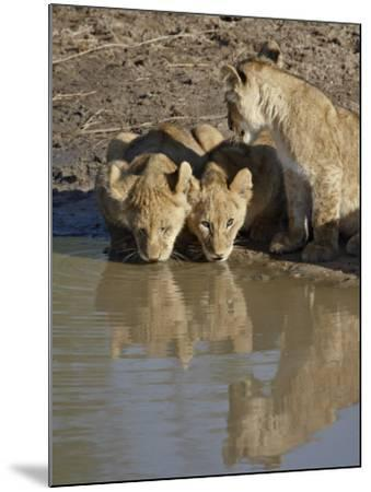 Three Lion Cubs Drinking, Masai Mara National Reserve, Kenya, East Africa, Africa-James Hager-Mounted Photographic Print
