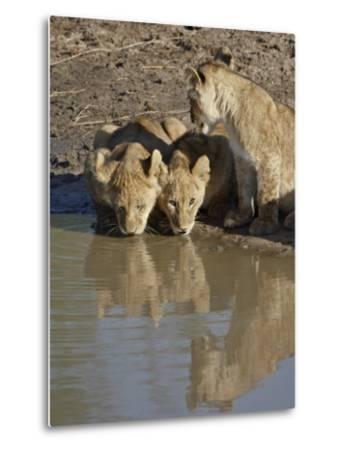 Three Lion Cubs Drinking, Masai Mara National Reserve, Kenya, East Africa, Africa-James Hager-Metal Print