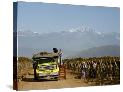 Grape Harvest at a Vineyard in Lujan De Cuyo with the Andes Mountains in the Background, Mendoza-Yadid Levy-Stretched Canvas Print