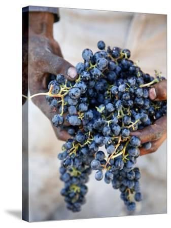 Harvest Worker Holding Malbec Wine Grapes, Mendoza, Argentina, South America-Yadid Levy-Stretched Canvas Print