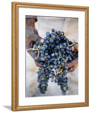 Harvest Worker Holding Malbec Wine Grapes, Mendoza, Argentina, South America-Yadid Levy-Framed Photographic Print