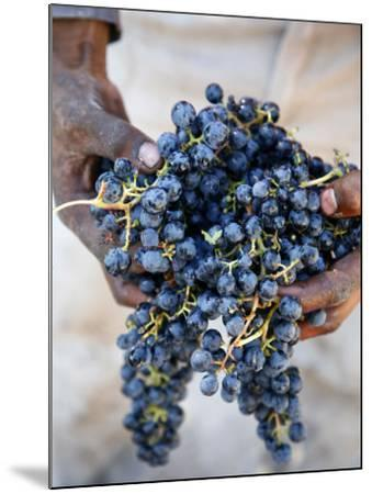 Harvest Worker Holding Malbec Wine Grapes, Mendoza, Argentina, South America-Yadid Levy-Mounted Photographic Print