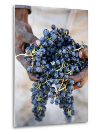 Harvest Worker Holding Malbec Wine Grapes, Mendoza, Argentina, South America-Yadid Levy-Metal Print