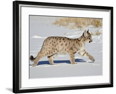Captive Mountain Lion or Cougar Cub, Near Bozeman, Montana-James Hager-Framed Photographic Print