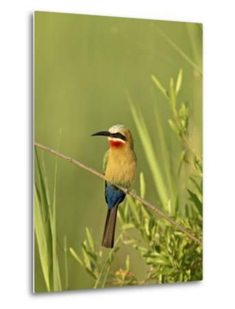 White-Fronted Bee-Eater, Kruger National Park, South Africa, Africa-James Hager-Metal Print