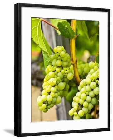 Grape Vines in Northern California Near Mendocino-Michael DeFreitas-Framed Photographic Print