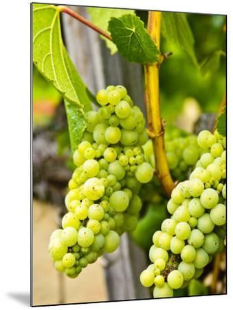 Grape Vines in Northern California Near Mendocino-Michael DeFreitas-Mounted Photographic Print