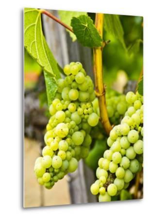 Grape Vines in Northern California Near Mendocino-Michael DeFreitas-Metal Print