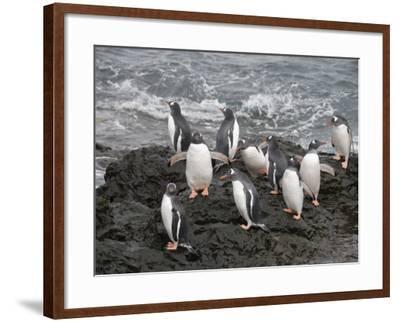 Gentoo Penguins, Hannah Point, Livingstone Island, South Shetland Islands, Polar Regions-Robert Harding-Framed Photographic Print