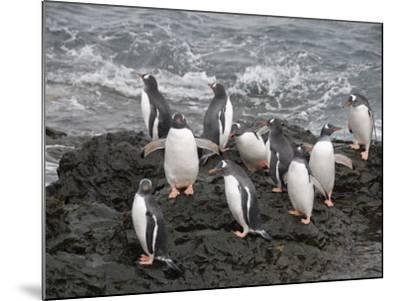 Gentoo Penguins, Hannah Point, Livingstone Island, South Shetland Islands, Polar Regions-Robert Harding-Mounted Photographic Print