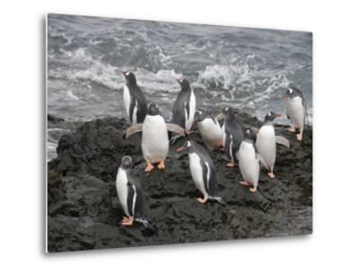 Gentoo Penguins, Hannah Point, Livingstone Island, South Shetland Islands, Polar Regions-Robert Harding-Metal Print