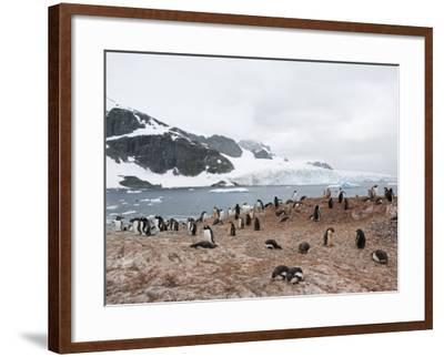 Cuverville Island, Antarctic Peninsula, Antarctica, Polar Regions-Robert Harding-Framed Photographic Print