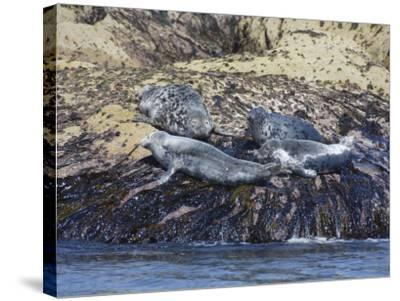 Grey Seals, Isles of Scilly, Cornwall, United Kingdom, Europe-Robert Harding-Stretched Canvas Print