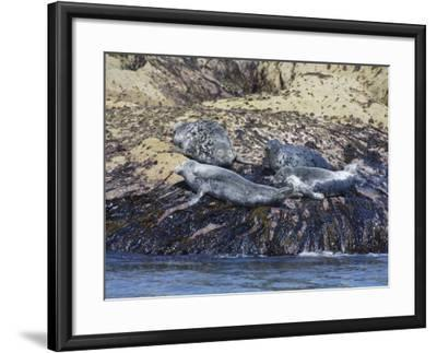 Grey Seals, Isles of Scilly, Cornwall, United Kingdom, Europe-Robert Harding-Framed Photographic Print