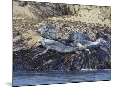 Grey Seals, Isles of Scilly, Cornwall, United Kingdom, Europe-Robert Harding-Mounted Photographic Print