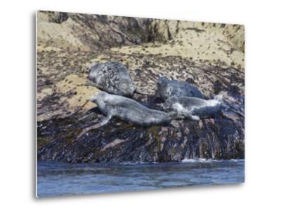 Grey Seals, Isles of Scilly, Cornwall, United Kingdom, Europe-Robert Harding-Metal Print