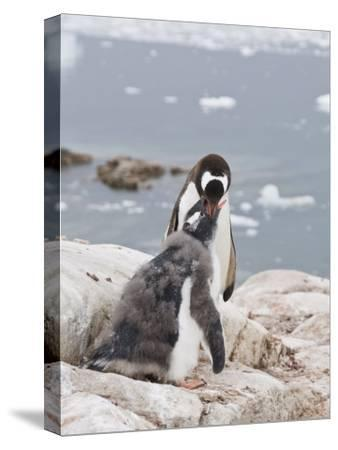 Gentoo Penguin Feeding Chick, Neko Harbour, Antarctic Peninsula, Antarctica, Polar Regions-Robert Harding-Stretched Canvas Print
