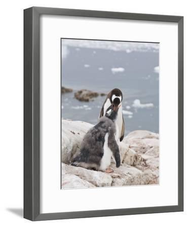Gentoo Penguin Feeding Chick, Neko Harbour, Antarctic Peninsula, Antarctica, Polar Regions-Robert Harding-Framed Photographic Print