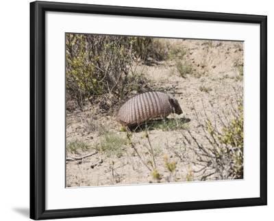 Armadillo, Valdes Peninsula, Patagonia, Argentina, South America-Robert Harding-Framed Photographic Print