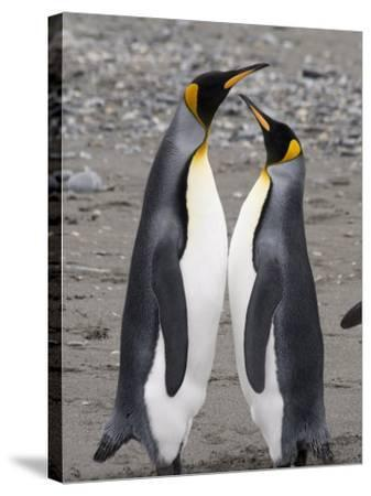King Penguins, St. Andrews Bay, South Georgia, South Atlantic-Robert Harding-Stretched Canvas Print