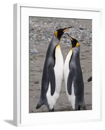 King Penguins, St. Andrews Bay, South Georgia, South Atlantic-Robert Harding-Framed Photographic Print
