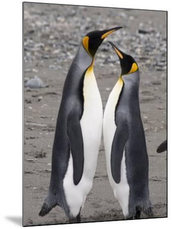 King Penguins, St. Andrews Bay, South Georgia, South Atlantic-Robert Harding-Mounted Photographic Print