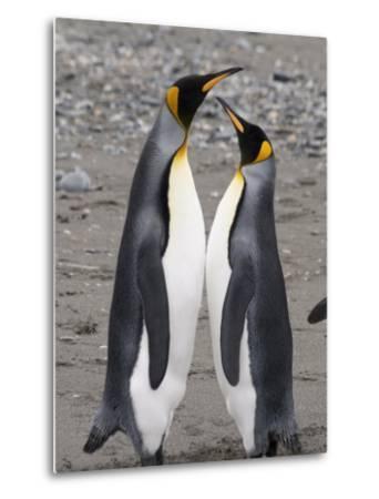 King Penguins, St. Andrews Bay, South Georgia, South Atlantic-Robert Harding-Metal Print