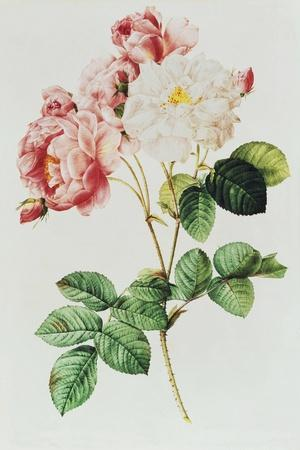 Rosa Damascena Celsiana or Damask Rose, Engraving from Les Roses, 1817-24-Pierre-Joseph Redout?-Stretched Canvas Print