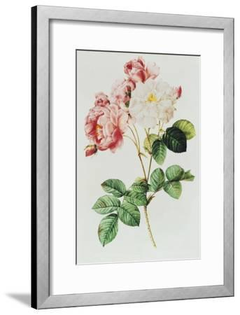 Rosa Damascena Celsiana or Damask Rose, Engraving from Les Roses, 1817-24-Pierre-Joseph Redout?-Framed Giclee Print