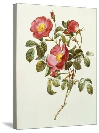 Rosa Gallica Pumila, from Les Roses, 1817-24-Pierre-Joseph Redout?-Stretched Canvas Print