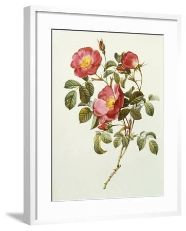 Rosa Gallica Pumila, from Les Roses, 1817-24-Pierre-Joseph Redout?-Framed Giclee Print