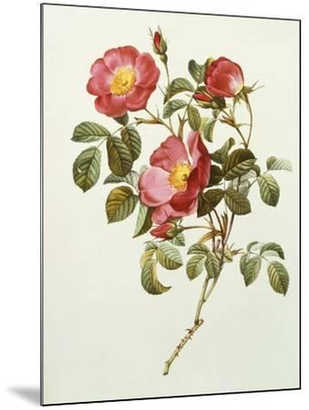 Rosa Gallica Pumila, from Les Roses, 1817-24-Pierre-Joseph Redout?-Mounted Giclee Print