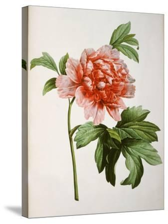 Paeonia Moutan or Peony, from Plantes Rares a Malmaison-Pierre-Joseph Redout?-Stretched Canvas Print