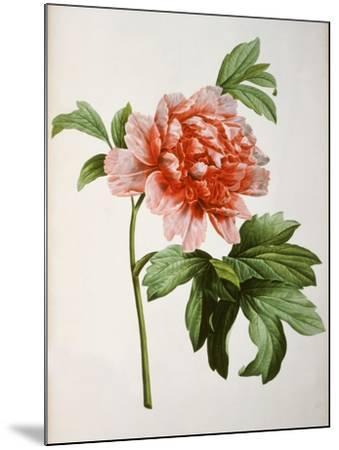 Paeonia Moutan or Peony, from Plantes Rares a Malmaison-Pierre-Joseph Redout?-Mounted Giclee Print