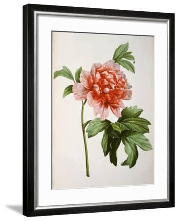 Paeonia Moutan or Peony, from Plantes Rares a Malmaison-Pierre-Joseph Redout?-Framed Giclee Print