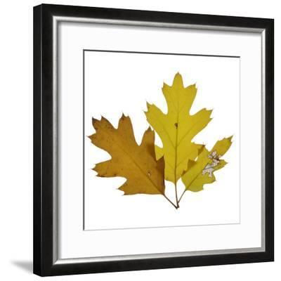 Fall Leaves on a White Background-Diane Miller-Framed Photographic Print